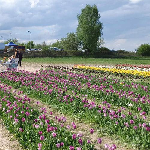поле тюльпанів Франківськ фото