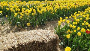 поле тюльпанів фото