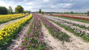 поле тюльпанів ІФ фото