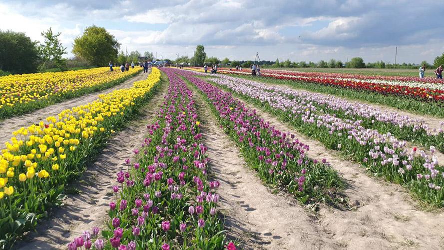 поле тюльпанів ІФ